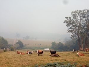 Cattle in the smoke