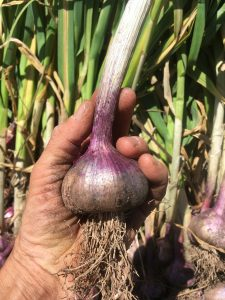 gung hoe garlic, so purple!