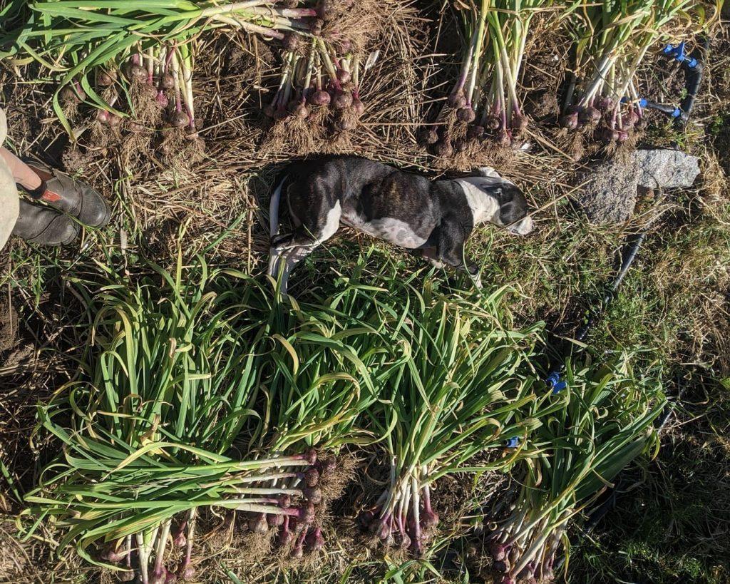 Scally the dog helping harvest garlic